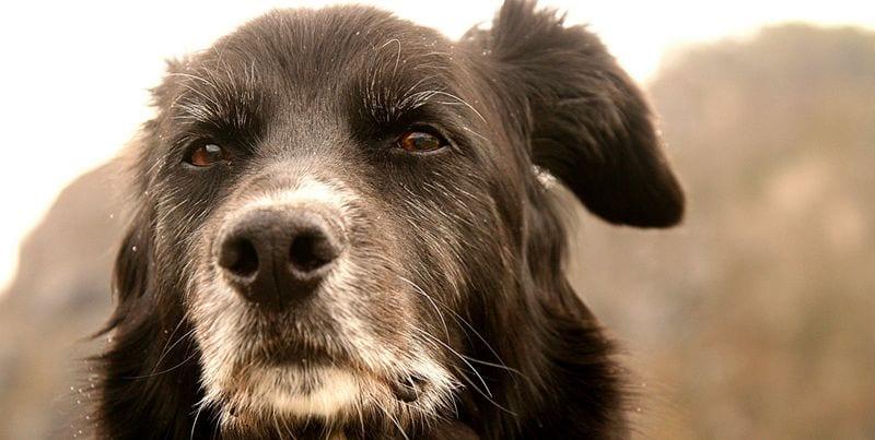 Perro-viejo