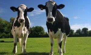 Las vacas de Setién.