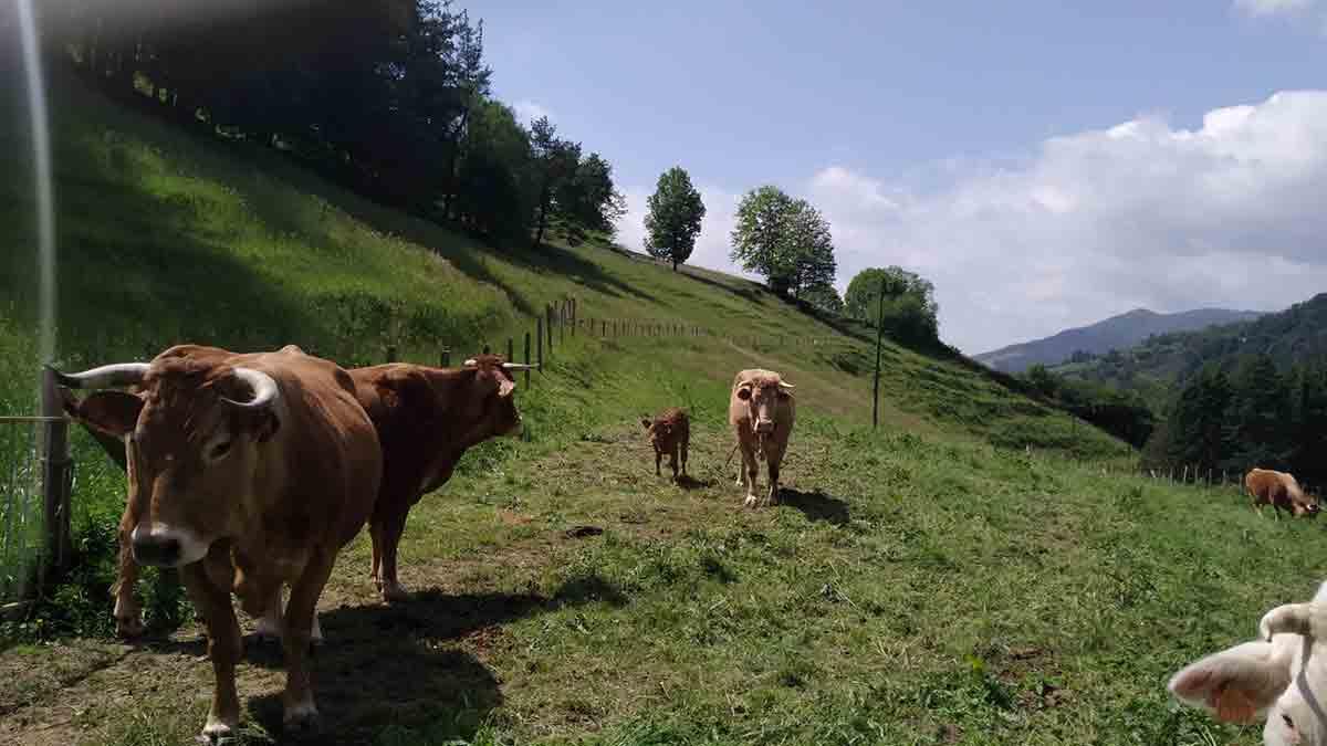 El refugio con vacas